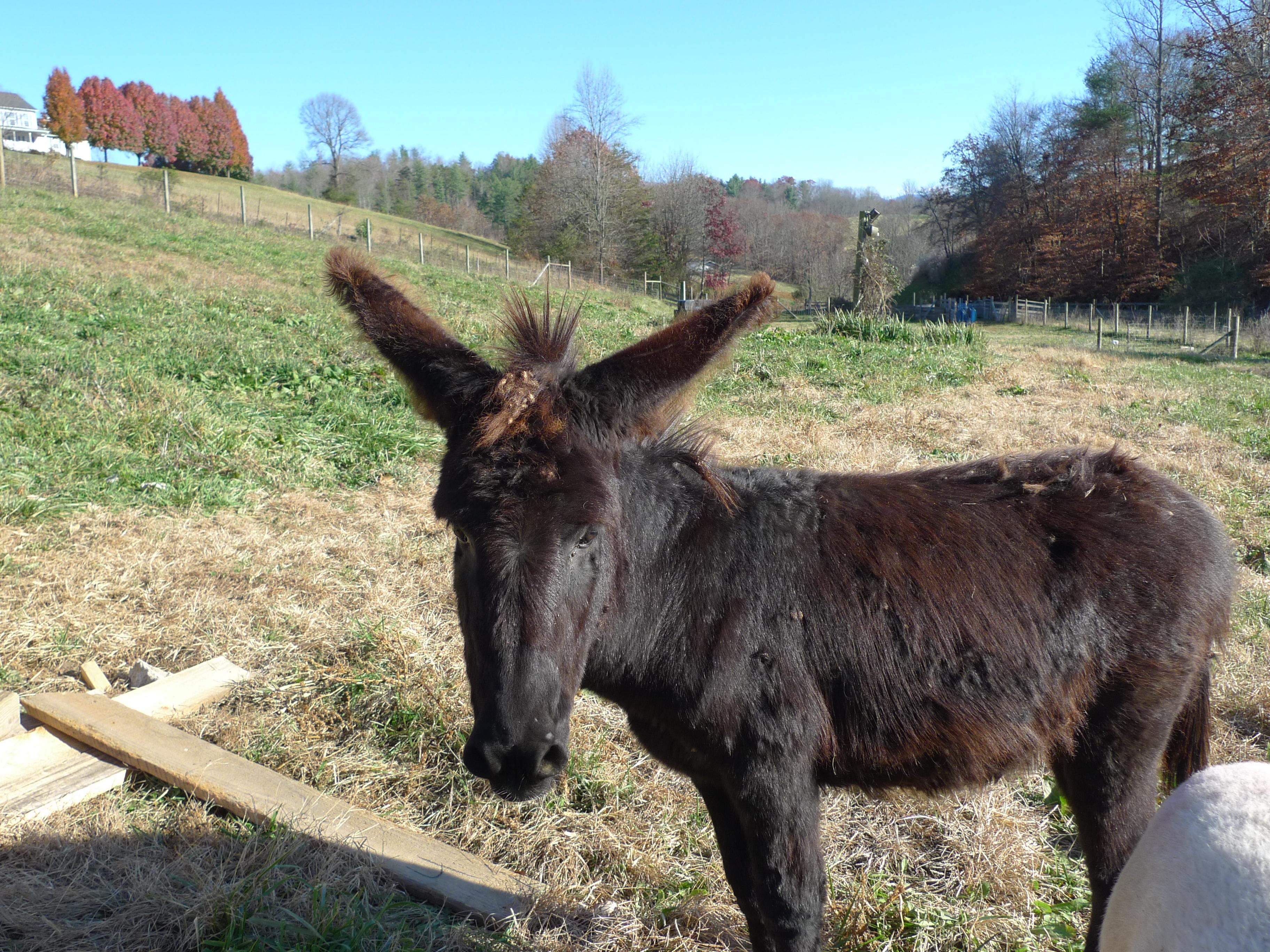 A donkey, a lambing barn, and pork! (Oh My!) | Dry Ridge Farm