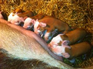 Piglets Round 2