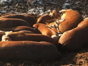 Snuggled... but cold piglets!