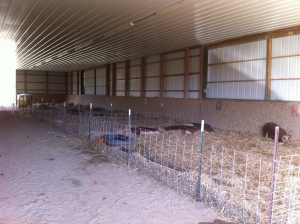 Moved the pigs into our big sand floored barn (that wall has two huge windows that open up too)