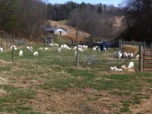 Weaned the January lambs