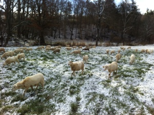 Moved sheep off hay, and rotating through pastures three weeks ago... and it snowed.