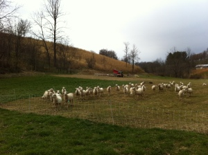Got our rotational grazing techniques in order.
