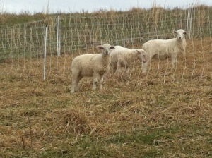 "Found out who the troublemaker lambs were... ""how do I get back to the side where everyone else is?"""