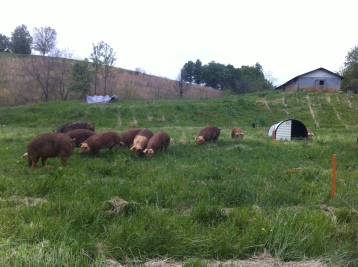 Sows and boar back on grass and rooting immediately!