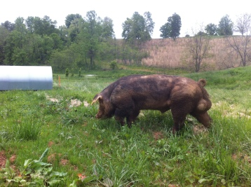 Might very well be this boar's first foray on grass. We bought him from a nice dirt lot. Not sure where he was before that, but he seemed intrigued by grass!