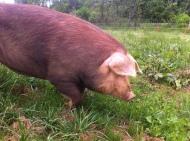close up pig
