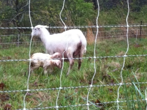 Lamb Surprise 3