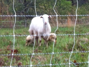 Lamb Surprise2