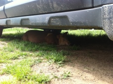 The little piggy that wasn't having it, and found a nice shady spot