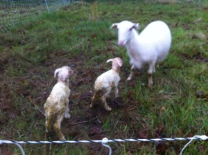 Surprise Lambs1