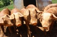 August piglets2