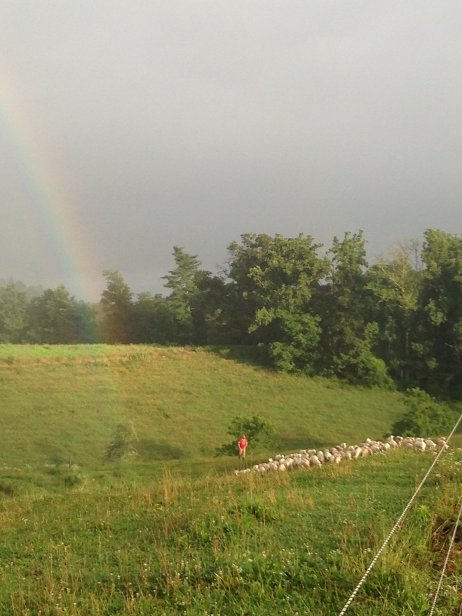 Rainbow chasing Graham chasing sheep (out of our neighbors pasture)