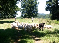Sheep moving to their new fenced-in pasture