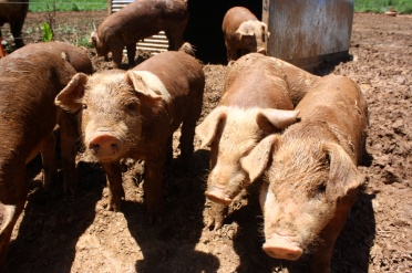 Muddy piglets3