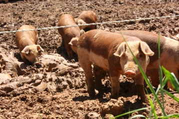Piglets cute