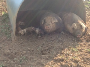 A pretty rare sight. Both Mom & Dad with babies.  Not many boars are patient enough to have eight pigs nosing around next to them... but I guess he was cozy snuggling with his lady.