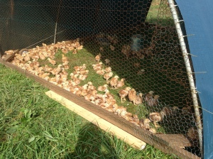 And we moved our little meat chickens outside today!