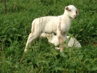 I love this little ram lamb's coloring!