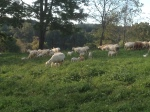 Lots of lambs