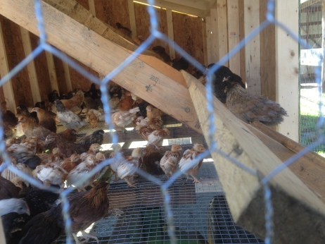 Already happy to have roosts!